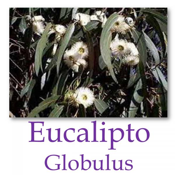 Eucaliptos Globulus