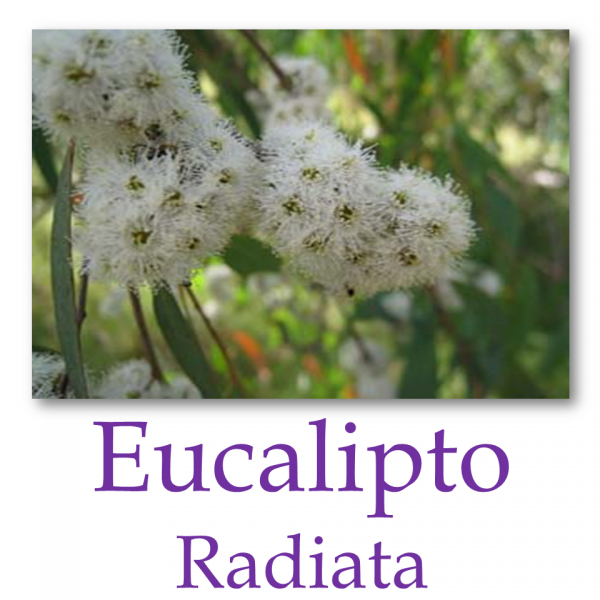 Eucalipto Radiata