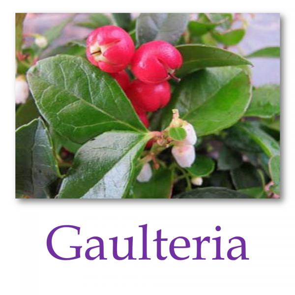 Gaulteria – Wintergreen
