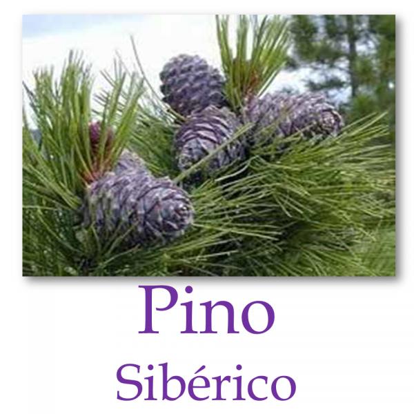 Pino Sibérico