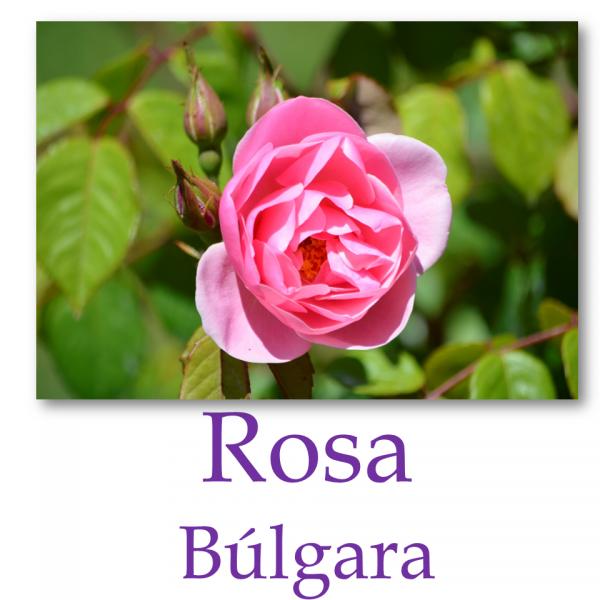 Rosa Búlgara o Damascena