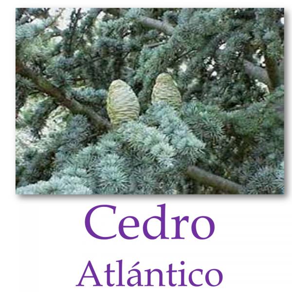 Cedro Atlas